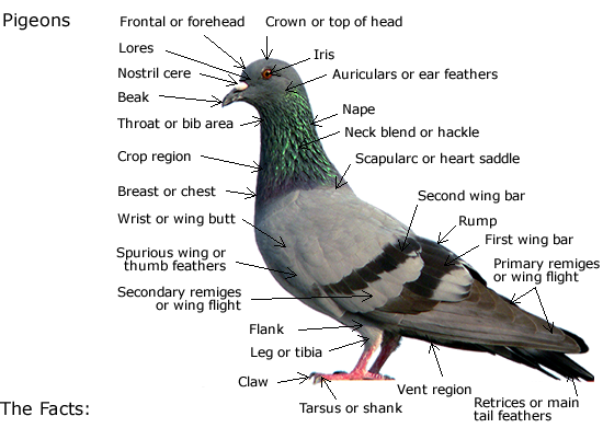 Pigeon-everything you must find out about pigeons